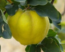Quince, the May-Have-Been Fruit of the Garden of Eden